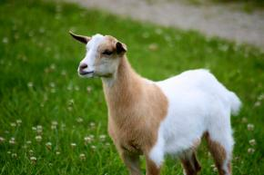 Day 1 of Clomid: The Furious Fainting Goat of Infertility